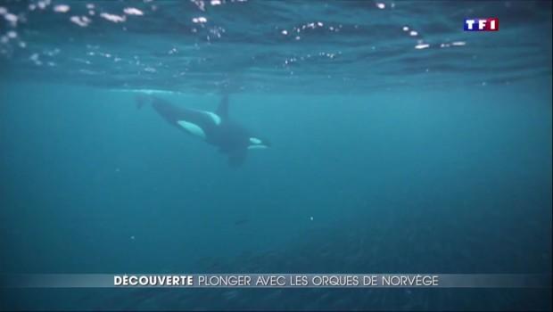 Reportage TF1 : en immersion avec les orques, amis des pêcheurs
