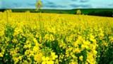 TF1/LCI colza agriculture
