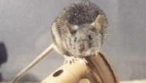 animaux laboratoire souris