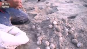 Mexique : les tortues olivâtres menacées par le braconnage de leurs œufs