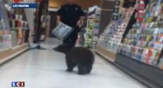 Un ourson brun dans les rayons d'un supermarché aux états-unis.