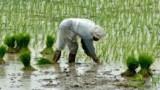 Le riz contiendrait trop d'arsenic pour les enfants