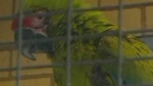 perroquet oiseaux grippe aviaire