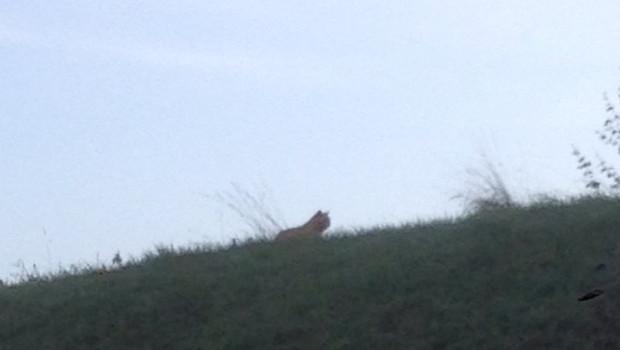 Tigre en liberté à Montévrain (Seine-et-Marne)