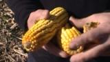 Bruxelles relance la guerre des OGM