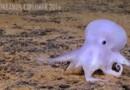 Casper le fantôme existe ! Et c'est une pieuvre