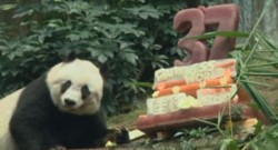 Le panda Jia Jia fête ses 37 ans (28/07)