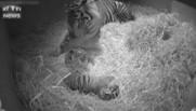 Naissance de deux tigres jumeaux de Sumatra au zoo de Londres