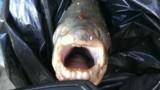 """PHOTO. Un poisson """"mangeur de testicules"""" pêché dans la Seine"""