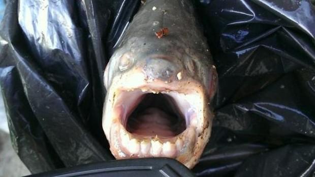 Un cousin végétarien du piranha a été pêché vendredi dans la Seine par un pêcheur à la ligne, a indiqué mardi la préfecture de police de Paris.
