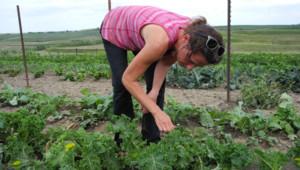 Plantation de kale dans l'Iowa, aux Etats-Unis.