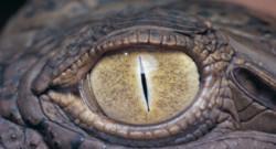 Un oeil de crocodile.