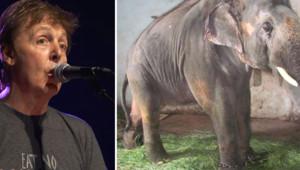 Paul McCartney prend la défense de Sunder l'éléphant, le 27 juillet 2012.
