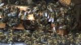 """Le pesticide """"tueur d'abeilles"""" bientôt interdit en France"""