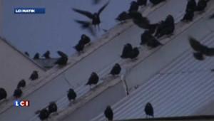 Quand les oiseaux d'Hitchcock deviennent réalité