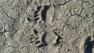 Empreintes de l'ourse brune Viviane, échappée de la réserve de Sigean