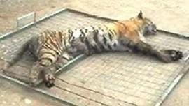http://s.tf1.fr/mmdia/i/23/6/tigre-mort-safari-illegal-espagne-2156236_224.jpg