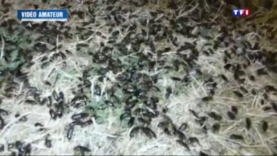 Le 13 heures du 28 juillet 2015 : Essonne : Saint-Maurice-Montcouronne envahi par des coléoptères - 75