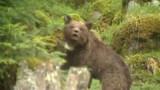Pyrénées : le gouvernement dit non à l'introduction de nouveaux ours