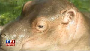 Naissance d'un bébé hippopotame au zoo de Berlin