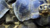 Georges le solitaire n'était pas la dernière tortue géante