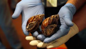 Des escargots géants envahissent Miami, en Floride.