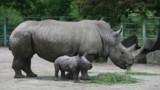 Pour sauver les rhinocéros, faudra-t-il leur couper les cornes ?
