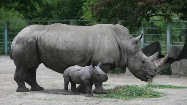 Rhinocéros dans un zoo