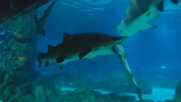 Requin-tigre - avale - Séoul - aquarium - Corée du Sud