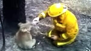 Sam, koala, sauvé des flammes australiennes