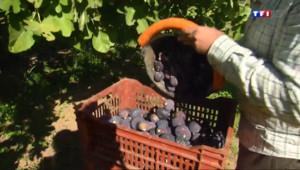 Le 13 heures du 4 septembre 2014 : La saison des figues fait des heureux �olli�Pont, dans le Var - 1767.5910000000001