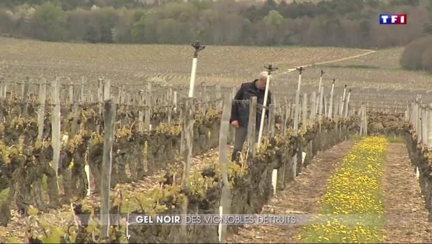 """Le gel est tombé sur les vignes, """"c'est tout un travail qui est fichu"""""""