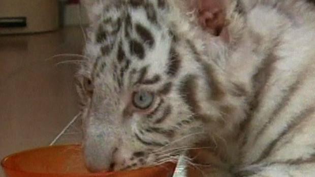 Buster, bébé tigre du Bengale