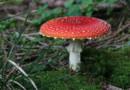Illustration. Un champignon vénéneux en Allemagne en septembre 2012.