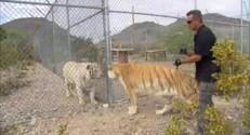 Attention, vous risquez de croiser un tigre dans le salon !