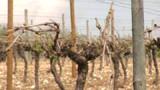 La grêle endommage 1.200 ha de vignes