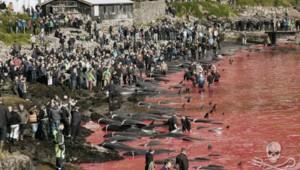 Massacre de baleines aux Iles Féroé en juillet 2015