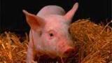 Une maison, un cochon