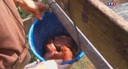 Canicule : à Thoiry, les félins dégustent des glaçons de sang