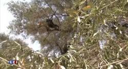 Bactérie tueuse d'oliviers en Corse : une souche différente de l'Italie