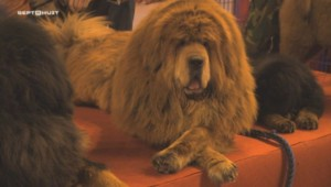 Le chien le plus cher du monde.