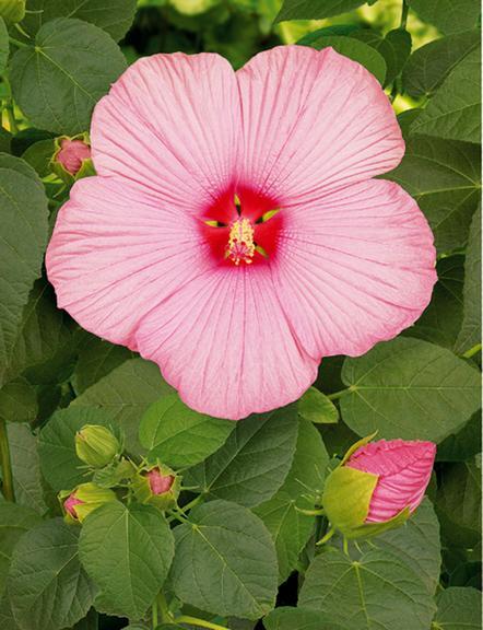 Hibiscus fleur de juin