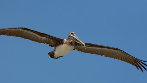 Pélican brun de Floride.