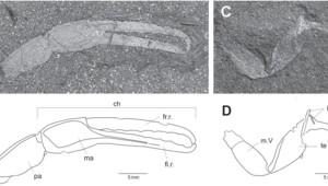 Un fossile scorpion de 350 millions d'années, le plus vieil animal terrestre ayant jamais vécu sur le méga continent Gondwana, a été découvert en Afrique du Sud