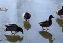 En Vendée, des canards privés d'étang en sont réduits à arpenter la glace (Merci à Liliane Routin, de Grosbreuil)