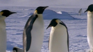 manchots antarctique
