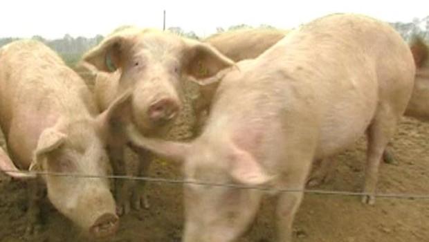 cochon jambon porc truie