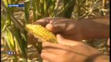 Etats-Unis : Monsanto gagne son duel contre un petit fermier de l'Indiana