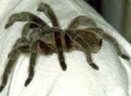 Insolite : Une araignée dans l'oreille pendant ... 27 jours