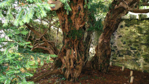 L'if de Fortingall, en Ecosse, est le plus vieil arbre du Royaume-Uni.